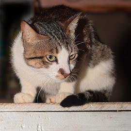 You caught my attention by Prasad Dalvi - Animals - Cats Portraits ( got you, peeping tom, cat, tom cat, animal )