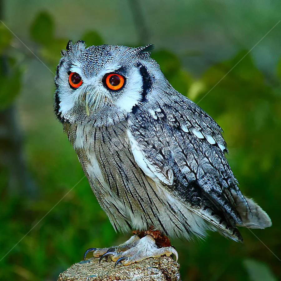 Little owl by Gérard CHATENET - Animals Birds
