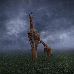 Giraffe 05.jpg