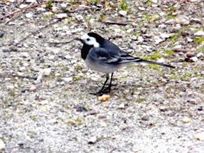 Photo: Bonsoir, J'adore les oiseaux de nuit, malheureusement en zone semi-urbanisée ils sont absents, sauf un petit-duc que j'entends quelques jours tous les ans au mois d'avril dans mes arbres. Votre page me permettra donc de les apprécier. Merci Bonne soirée.  En plus je n'ai pas de téléobjectif ! lol Un oiseau du jour, bergeronnette grise habituée de mon jardin en hiver.
