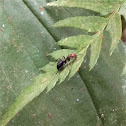 Western Thatching Ant