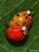Photo: Ladybugs in love