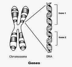 Photo: Is information density in nucleotide codon bases similar to how areas of gene density are located on a chromosome?  Can a mathematically correct Base-2 System half state color progression indicate where this 'active' and 'inactive' information occurs in each nucleotide codon base?  Do RNA codon half-states switch 'on' and 'off' to create each of the 64 unique RNA codons?  In Genomic Biochemistry, is each of the uniquely patterned RNA codon half state already reacting or anticipating local cell conditions to create the scaffolding for a 'targeted' protein before 'DNA Makes RNA Makes Protein'?