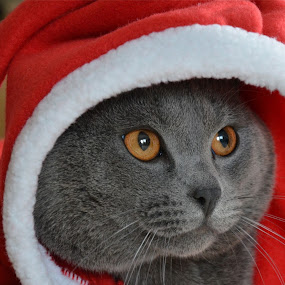 Merry Christmas by Serge Ostrogradsky - Animals - Cats Portraits (  )
