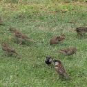 English/House Sparrow