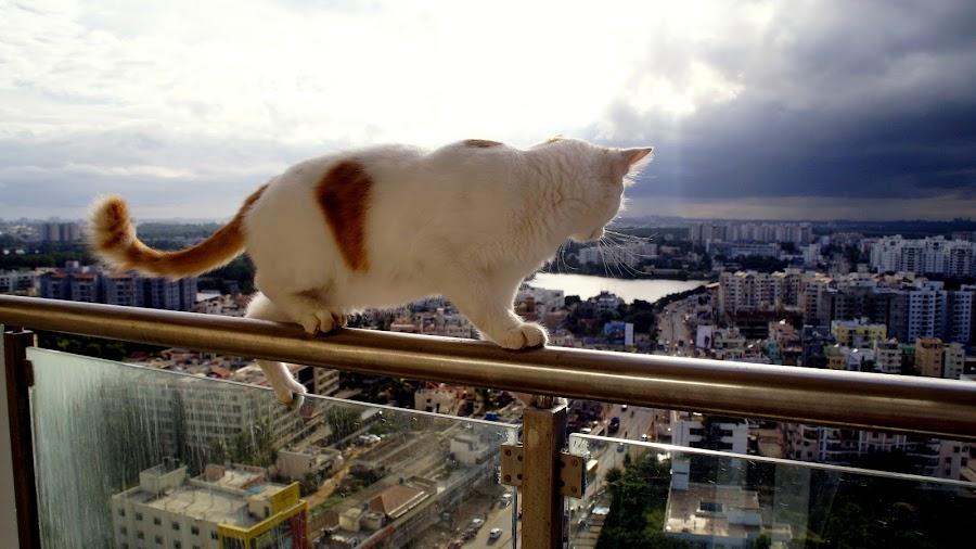 The TRAPEZE by Prashant Bakshi - Animals - Cats Playing ( , animal, strange, weird, breed, cat, dog, pet, wild )