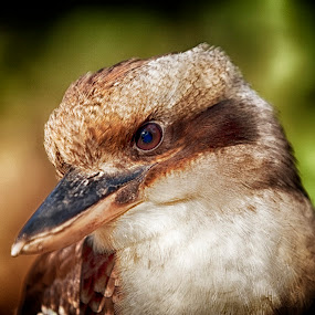 the Kookaburra by Gary Parnell - Animals Birds
