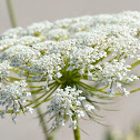Toothpick-plant