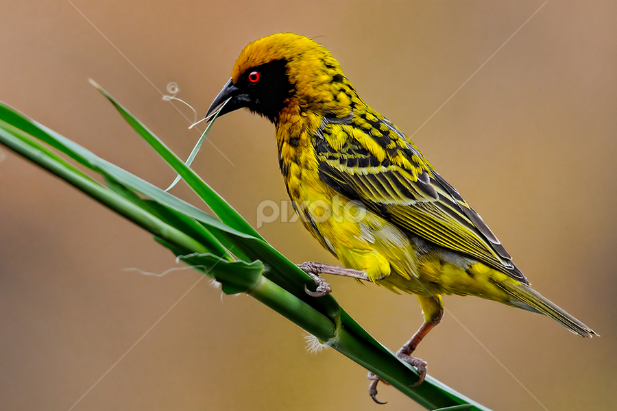 Little Yellow Sewing Machine | Birds | Animals !!! | Pixoto