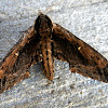 Northern Apple Sphinx Moth