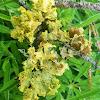 Yellow foliose lichen