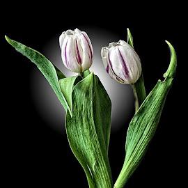BAS tulip 09 by Michael Moore - Flowers Flower Arangements (  )