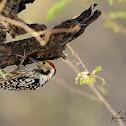 Woodpecker  -  Yellow-crowned Woodpecker