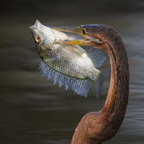 What a catch ! by Francois Retief - Animals Birds