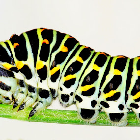 Swallowtail catepillar by Marko Lengar - Animals Insects & Spiders ( bug, caterpillar, insect, swallowtail,  )