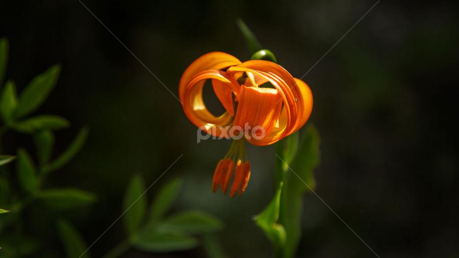 Lilium corniolicum by Stanislav Horacek - Nature Up Close Flowers - 2011-2013