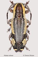 Photo: Adetus nitens, 10,6 mm, Costa Rica, Boca Tapada (10°41´/-84°11´), leg. Gernot Kunz, det. Erwin Holzer