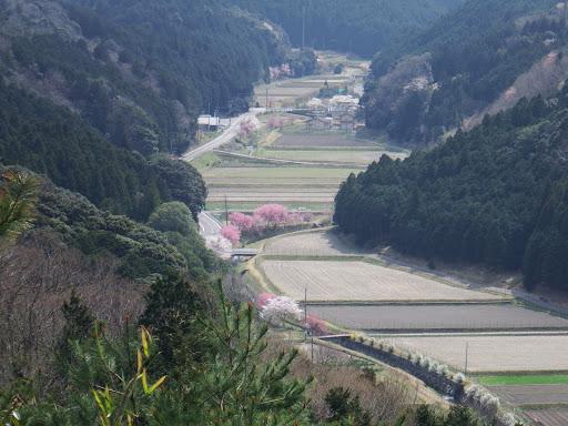 綺麗な桜並木、左奥に駐車場と車が見える