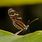 Menapis Tigerwing Butterfly
