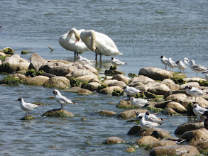 Photo: At Nida the swans and other birds were having a beauty treatment.