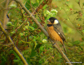 "Photo: White-collared Seedeater; ""Birders Highway"", south of San Blas"