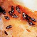 Tooth-necked fungus beetles