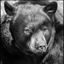 Black Bear by Dave Lipchen - Black & White Animals ( black bear )