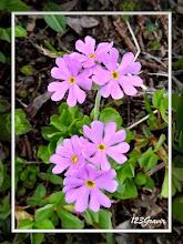 Photo: Primevère farineuse, Primula farinosa
