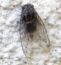 """Photo: Elles vont bientôt arriver et nous assourdir ! Cigale grise """"Cicada orni"""" posée sur un mur. Juillet. Marignane (13). Posée sur un tronc elle est pratiquement invisible  http://www.baladesentomologiques.com/article-cigale-de-provence-cigaloun-transparente-fille-d-apollon-122463337.html"""