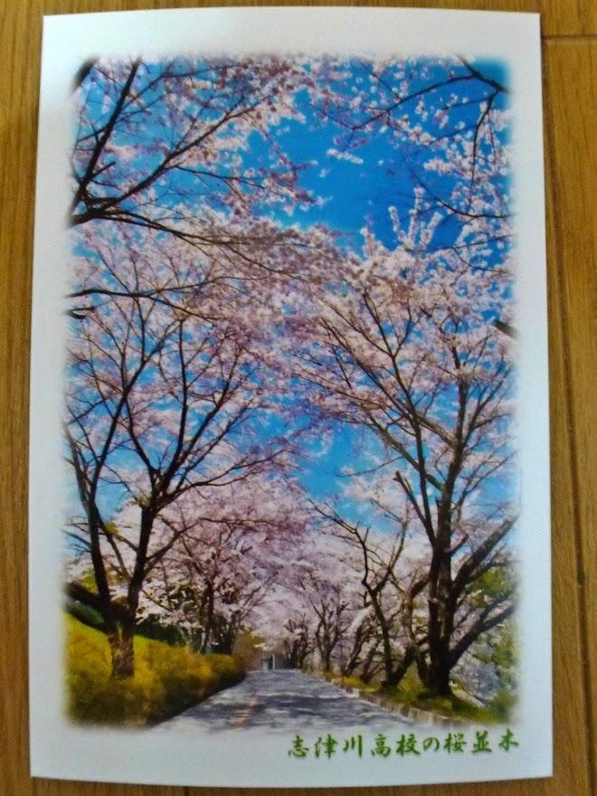 佐良スタジオさんのポストカードコレクション 2.志津川高校の桜並木