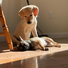 """C'mon play with meee!"" by Paul Gibson - Animals - Dogs Puppies ( cute puppy, cute dog, labrador, puppy, sun, dog )"