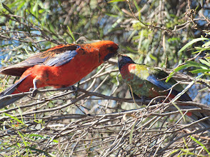 Photo: Crimson Rosella with young