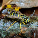 Southern Yellowjacket