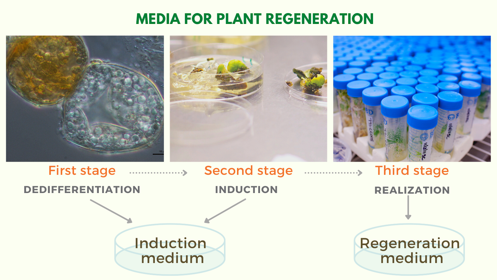 The three stages of plant regeneration chart