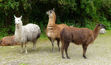 Photo: These llamas congregate in the parking lot