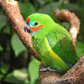 Male double-eyed fig parrot   by Kinga Urban - Animals Birds ( bird, tree, australia, parrot, wildlife, animal,  )