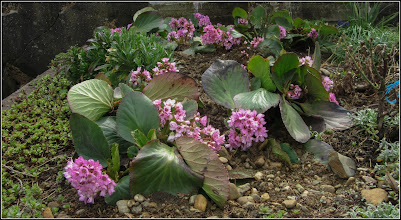 Photo: Bergenia - din Cimitirul Central - 2018.04.07