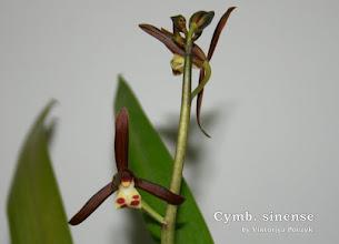 Photo: Cymbidium sinense