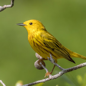 Yellow Warbler by Don Young - Animals Birds ( yellow warbler, color, nature, bird photography, bird,  )
