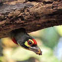 Coppersmith Barbet (तांबट ) with nest