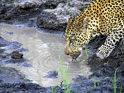 A leopard spotted at Tintswalo Safari Lodge.