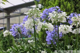 Photo: 拍攝地點: 梅峰-溫帶花卉區 拍攝植物: 百子蓮 拍攝日期: 2014_07_27_FY