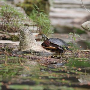 Canoetrip&Turtle 088.JPG