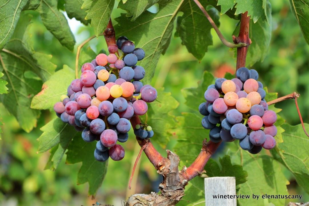 vendemmia, pugnitello, roccapesta, vino rosso, scansano, morellino di scansano, maremma, maremma vino, uva, wine, red vine, pugnitello wine, maremma wine, grape, grape harvest, toscana vino, tuscan wine
