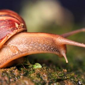 Giant Leap by Anis Ghazalli - Animals Other ( snail, garden )