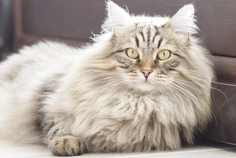 nuôi mèo siberian