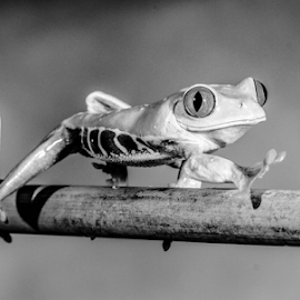 Reach by Garry Chisholm - Black & White Animals ( frog, nature, workshop, mac ro, amphibian, canon, garry chisholm )
