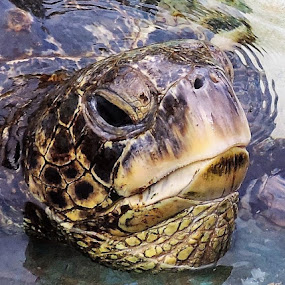 by Beverly Lee - Animals Other ( water, sea turtle, amphibian, turtle, animal closeup,  )