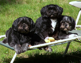Photo: Sampson, Beatle and maddyson in the back yard