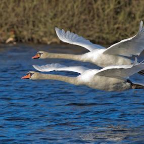 In Synchrony by Steve BB - Animals Birds ( flight, white, wings, flying, grace, water, swans, avian )